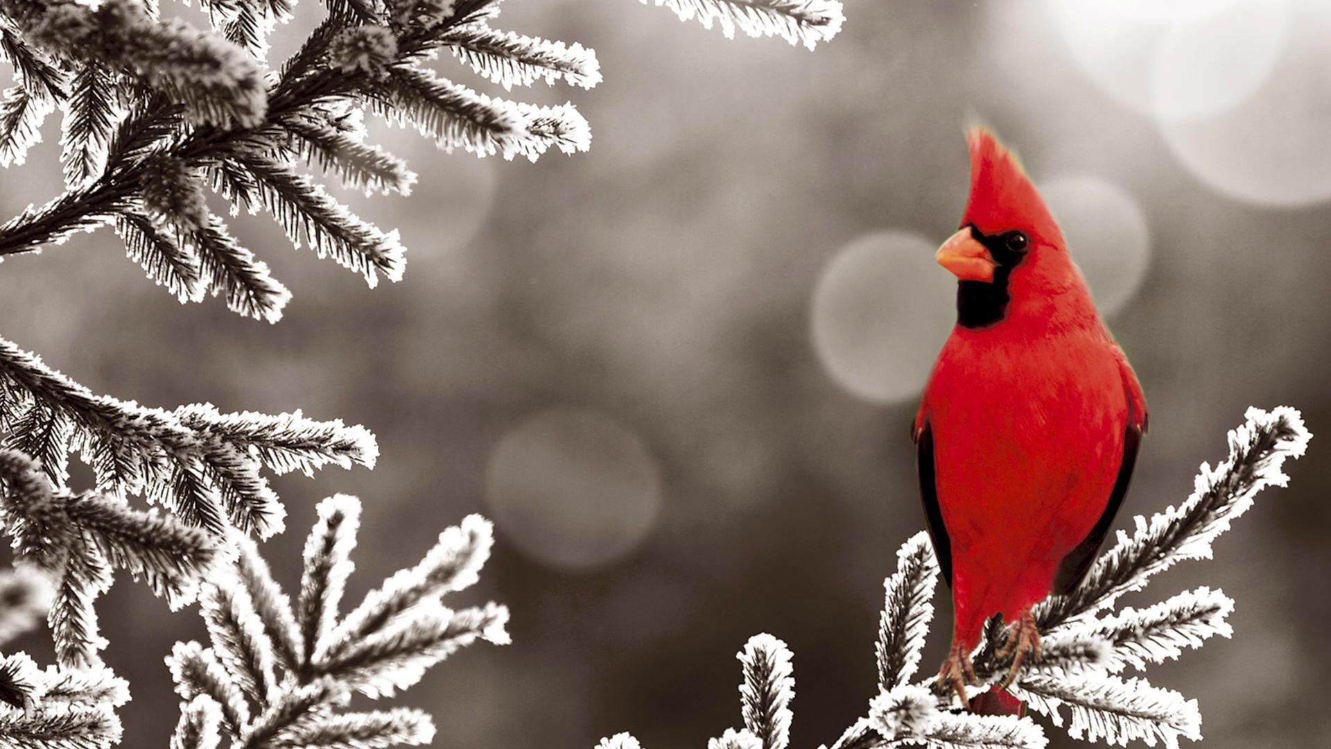 Northern Cardinal Bird Frozen Branch Desktop Wallpaper 1920x1080