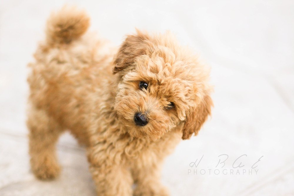 Cute Toy Poodle Puppies Pictures Wallpaper Download Dogs 1000x667