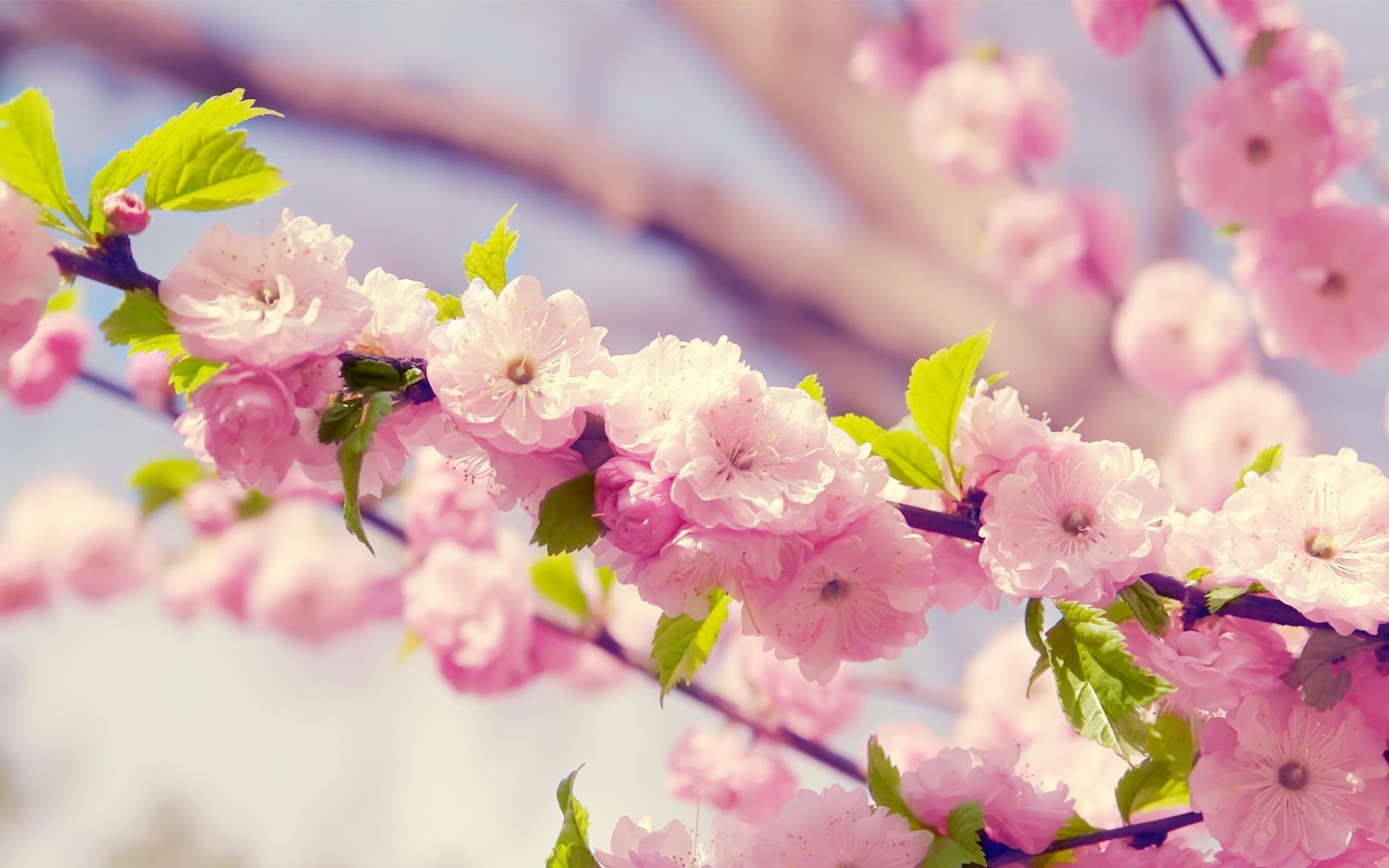 wallpapers Pink Cute Flowers 1600x1000