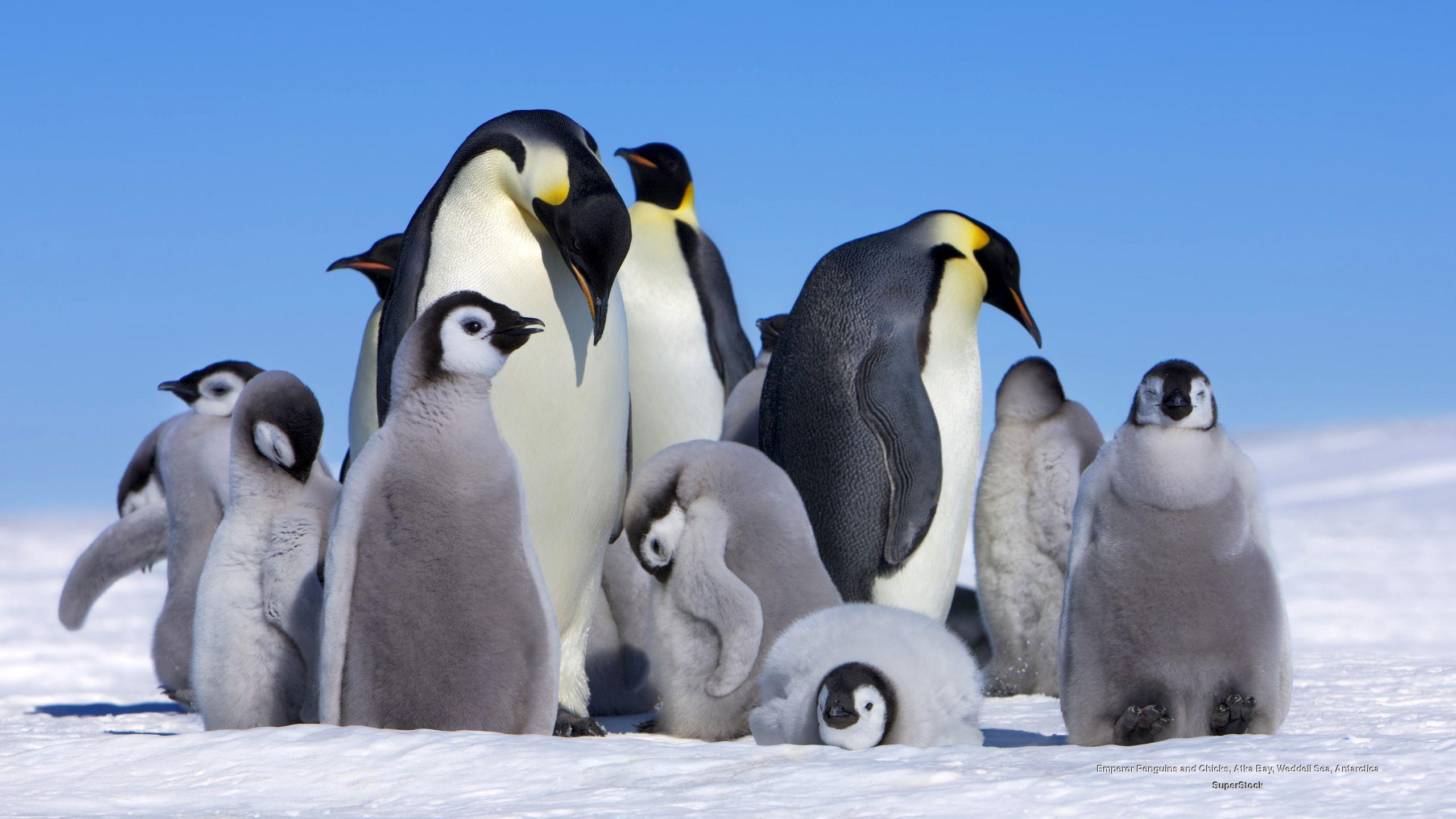 Penguin Wallpapers Download Beautiful Birds HD Desktop Images 2560x1440