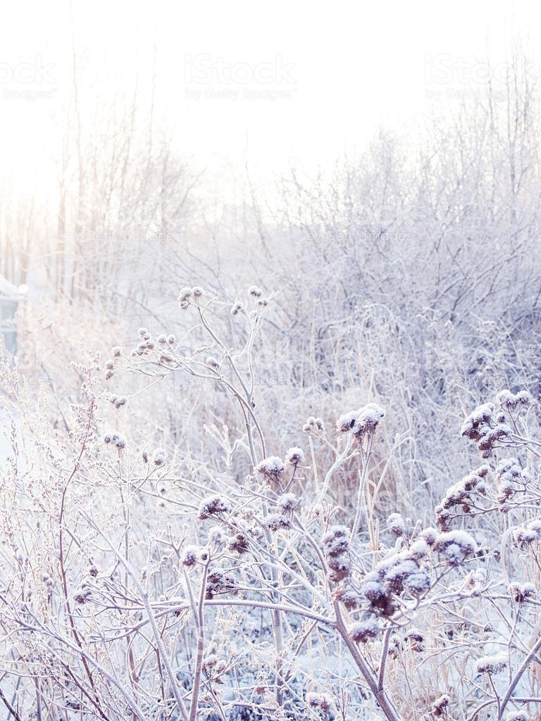 Spikelets Background De Invierno Cubierto De Escarcha Foto de 768x1024