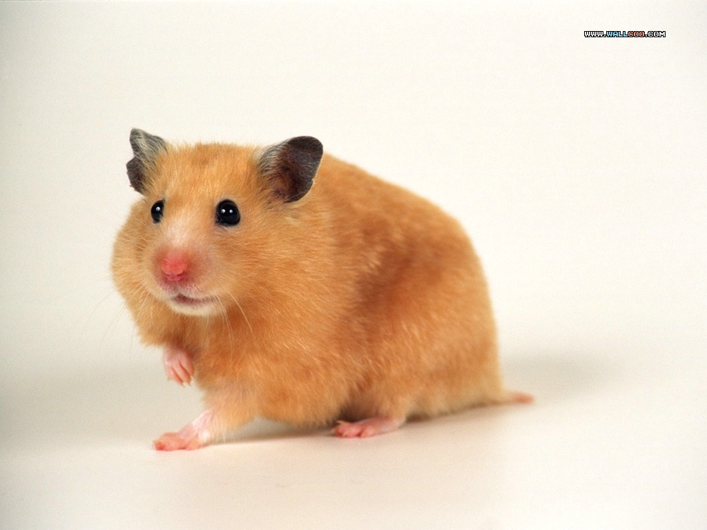 cute hamster wallpaper 1024x768
