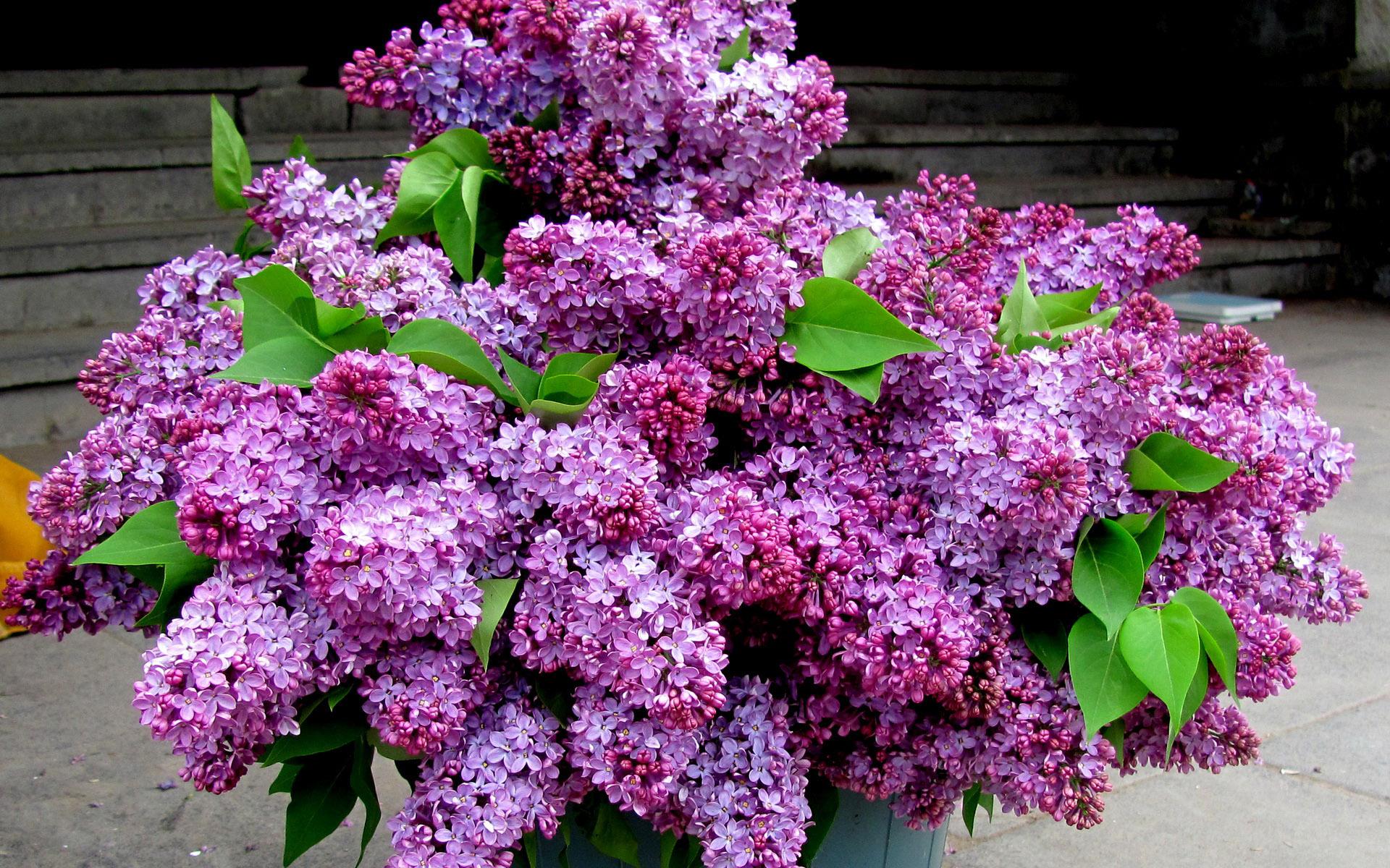 Purple Lilac Wallpaper Wallpapersafari