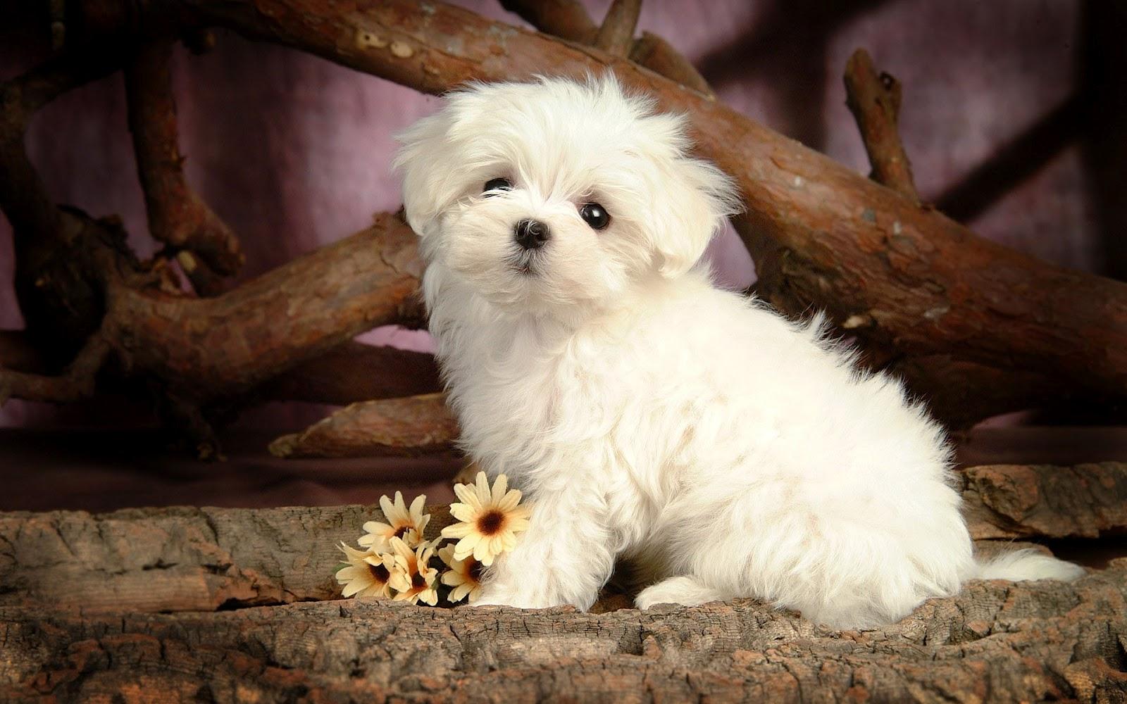 hd dog wallpaper with a cute little maltese dog backgroundjpg 1600x1000