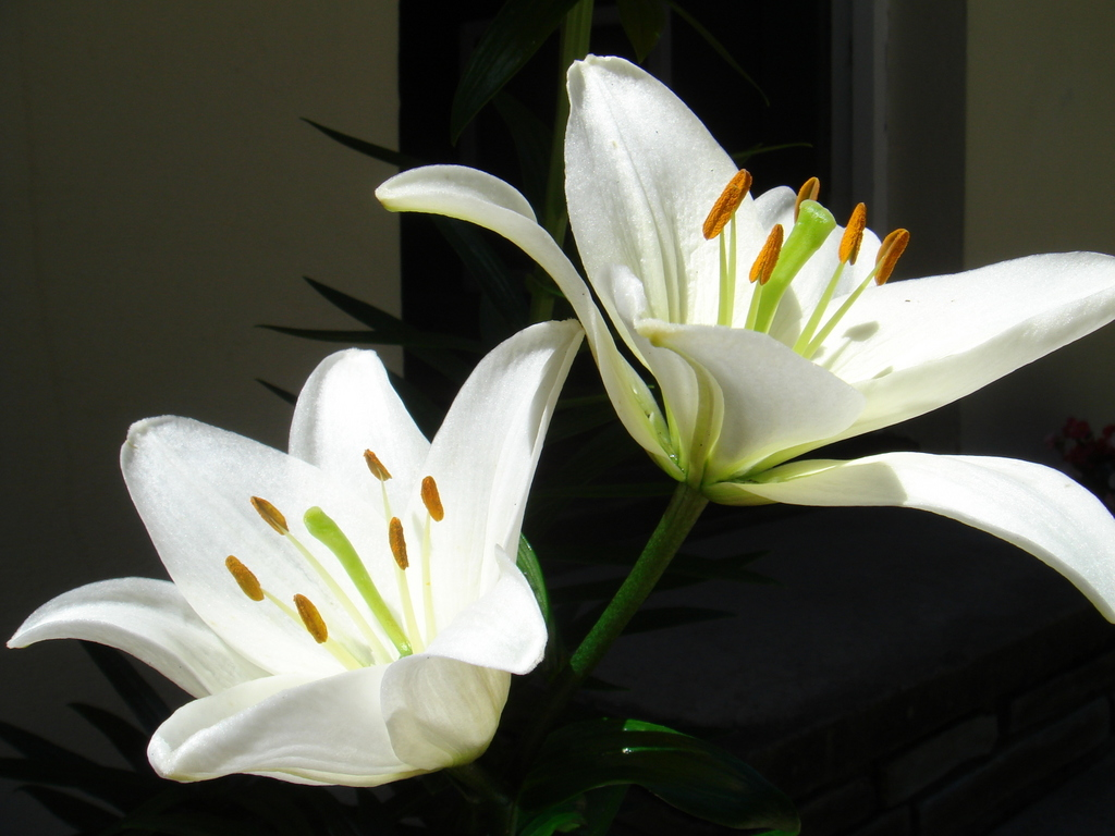 For those who like the lilies may make the wallpaper on your computer 1024x768