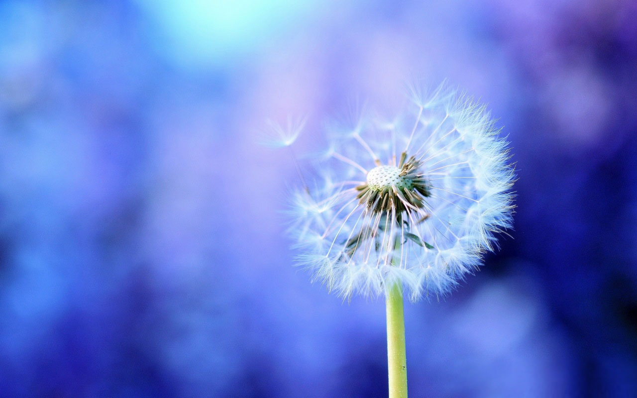 Blowing Dandelion Drawing   wallpaper 1280x800