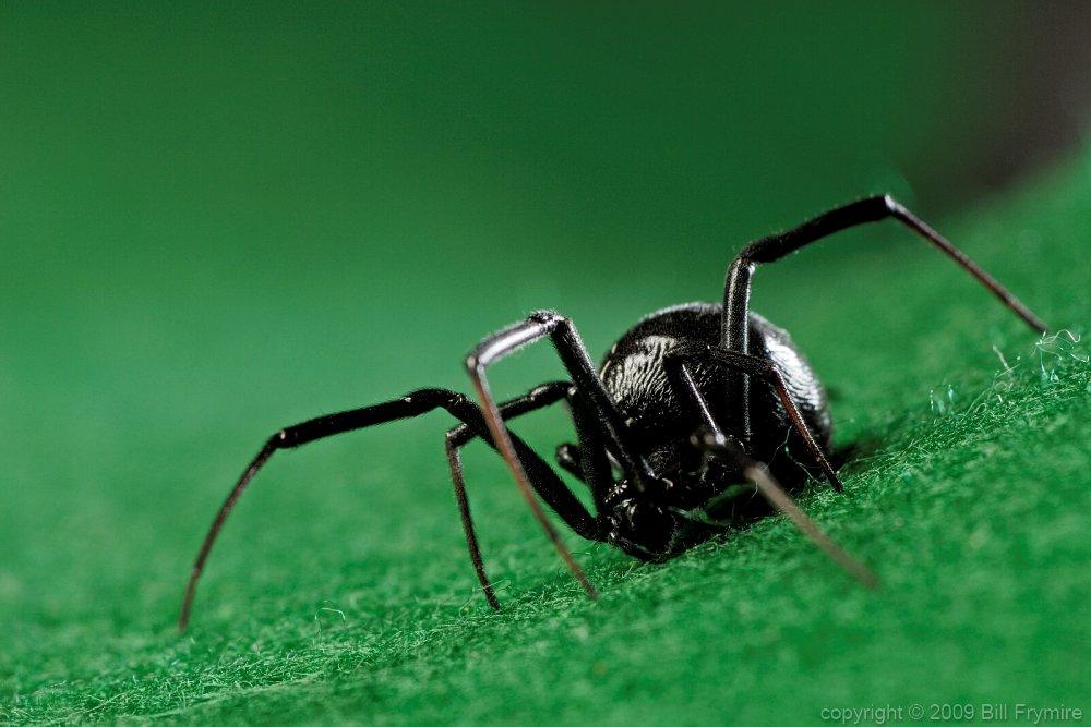black widow spider wallpaper desktop 1000x667