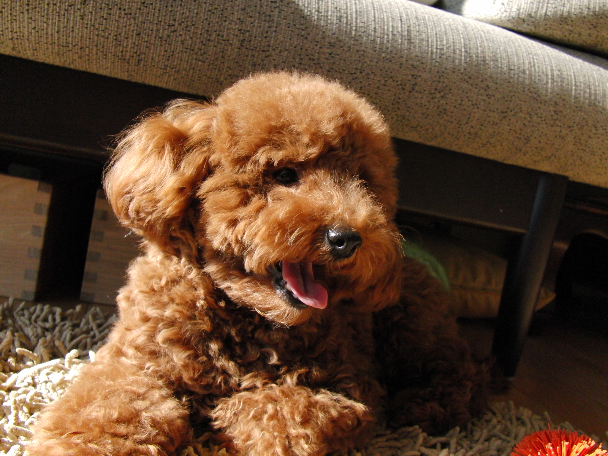 Red Toy Poodle   Wallpaper Pin it 2048x1536