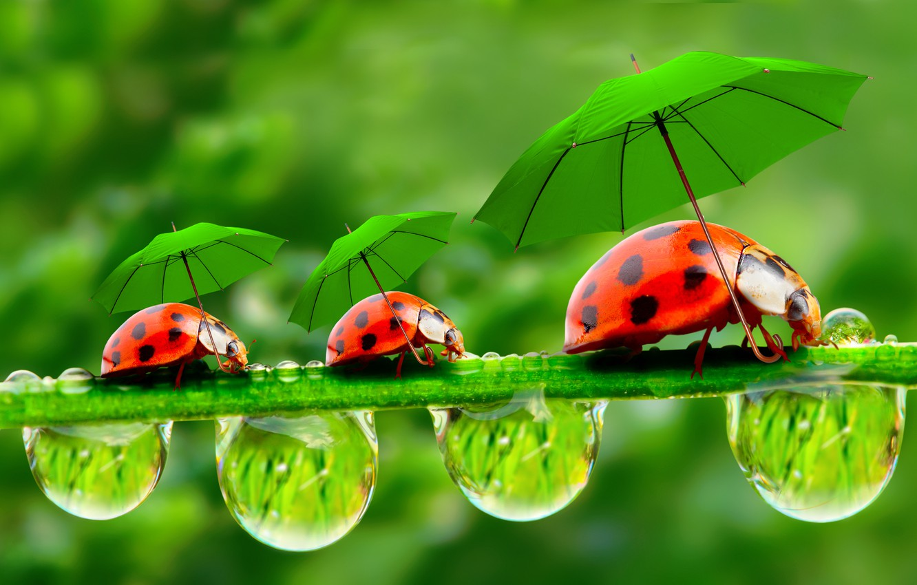Wallpaper droplets umbrellas ladybugs a blade of grass 1332x850