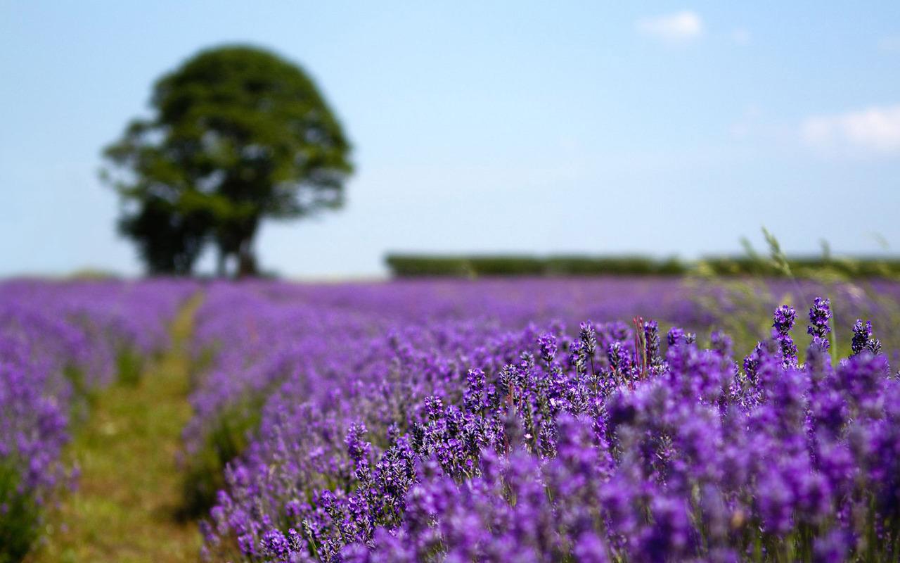 Lavender field wallpaper 18658 1280x800