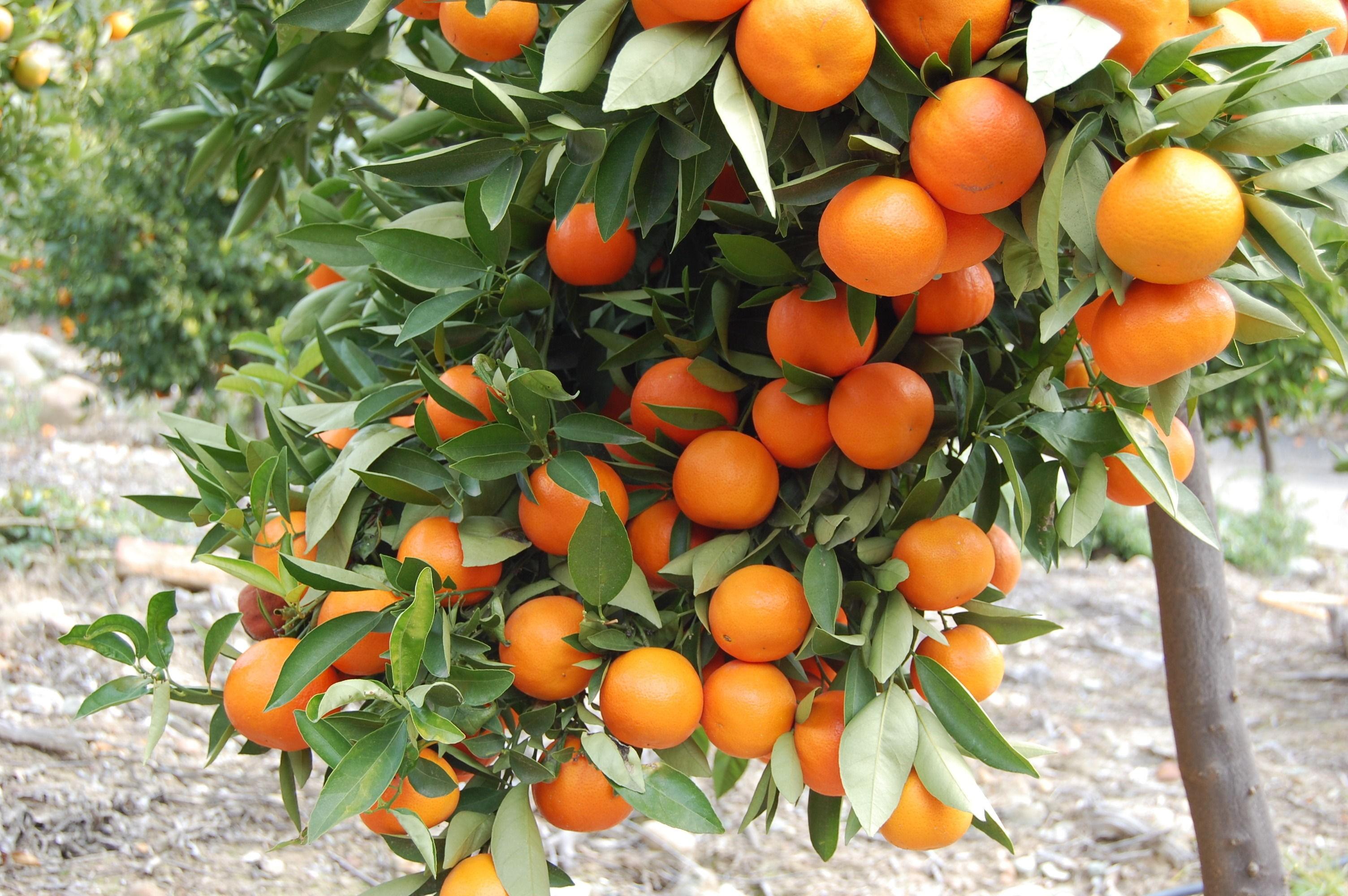 Awesome Orange Tree Desktop Background HD Wallpapers 3008x2000