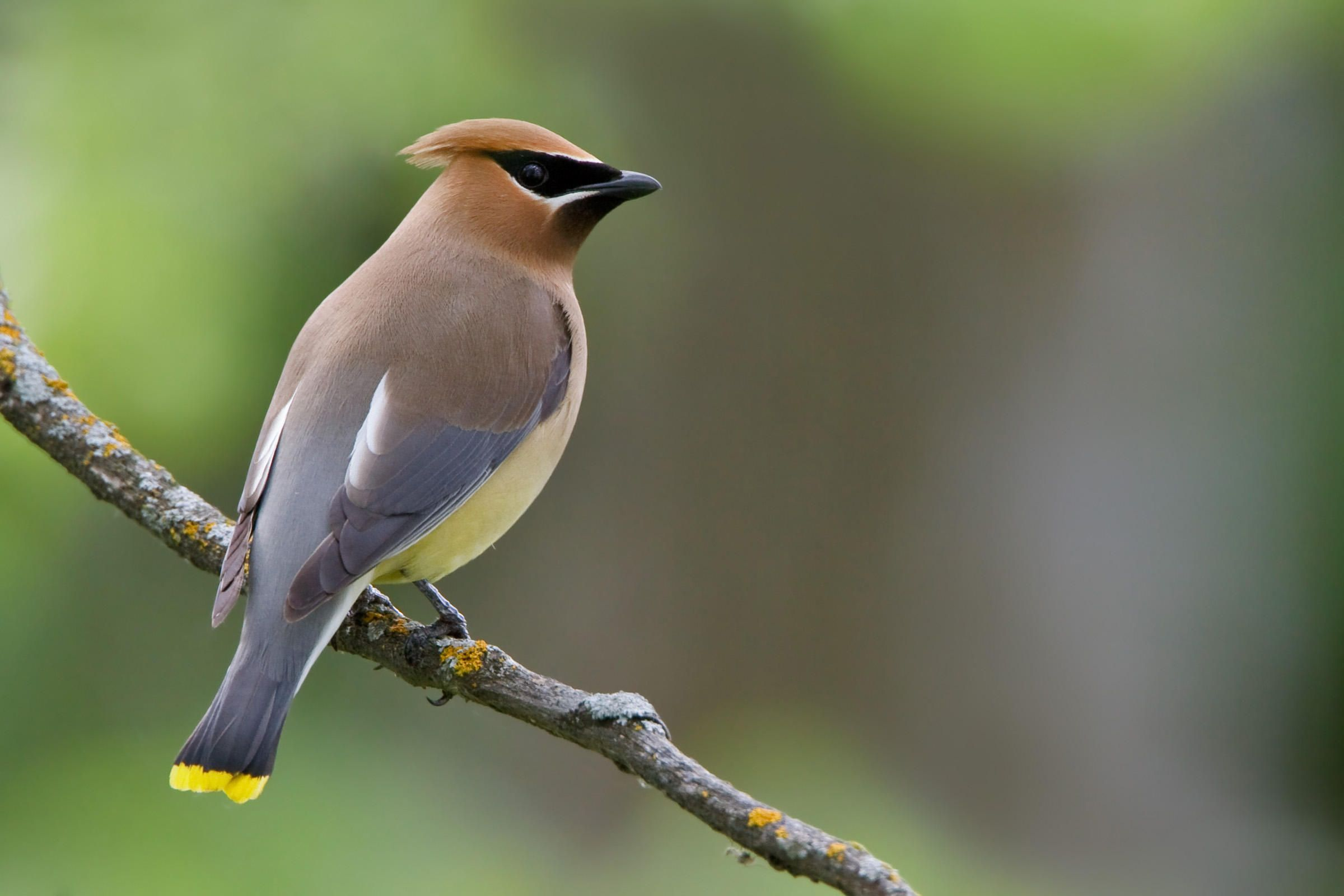 Pin by Kristen U S on MY Backyard Birds Cedar waxwing Bird 2400x1600