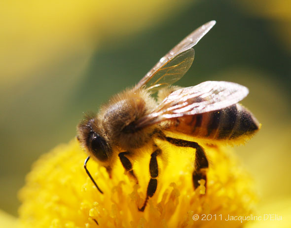 the evil honey bee bees kill more americans than terrorists but big 590x462