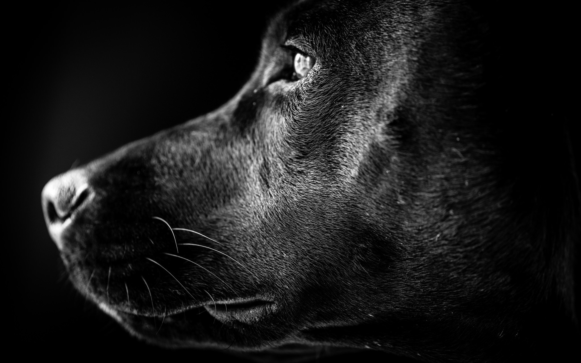 Free Download Black Labrador Profile 4k Wide Uhd Wallpaper Hd Wallpapers 1920x1200 For Your Desktop Mobile Tablet Explore 72 Black Labrador Wallpaper Lab Puppy Wallpaper Black Lab Wallpaper Desktop