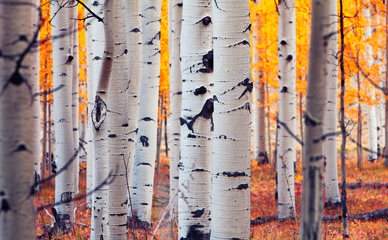 Images USA Colorado Aspen Birch Nature Autumn Forests Trunk tree 1280x792