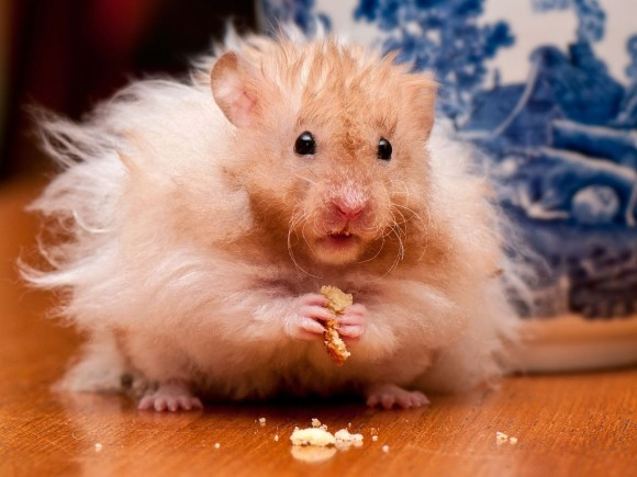Wallpaper dun hamster tout bouriff   wallpapers animaux 580x435