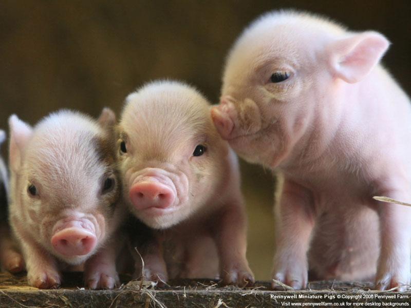 Animal Desktop Wallpapers Pig Desktop Background 800x600