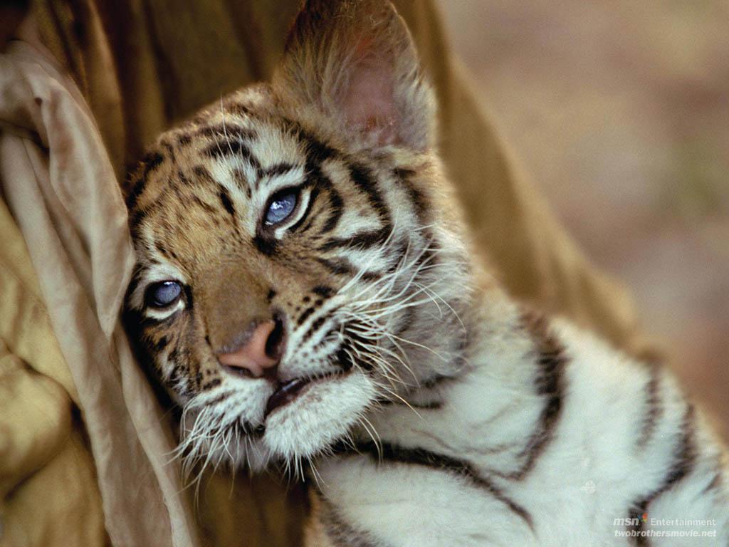 47 Cute Baby Tiger Wallpaper On Wallpapersafari