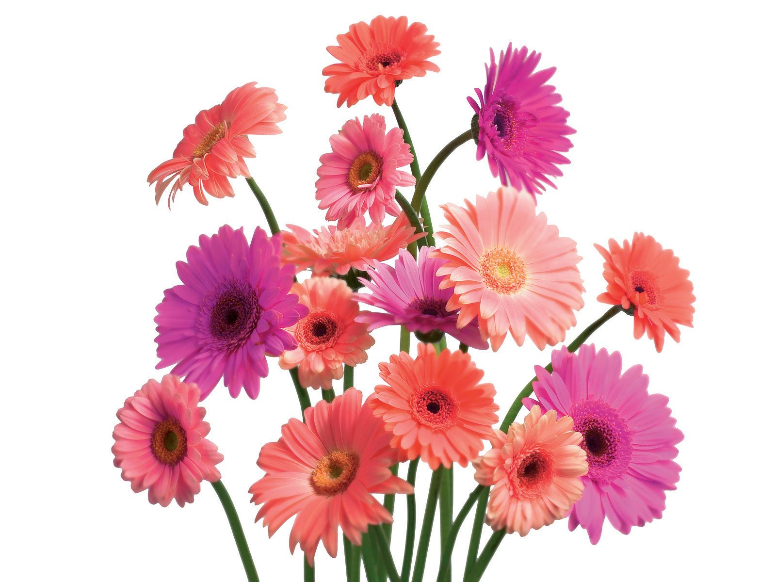 Gerbera Daisy Cluster Wallpapers HD Wallpapers 1600x1200