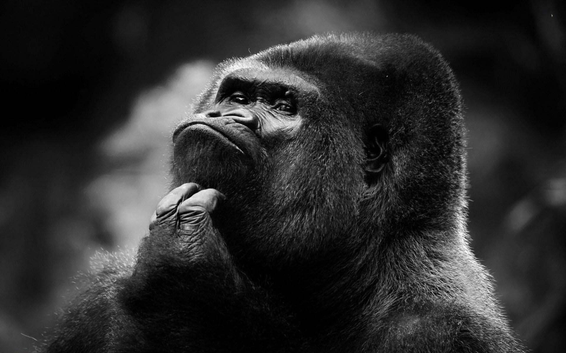 Animal Thinking Gorilla Wallpaper 1920x1200   Cool PC 1920x1200