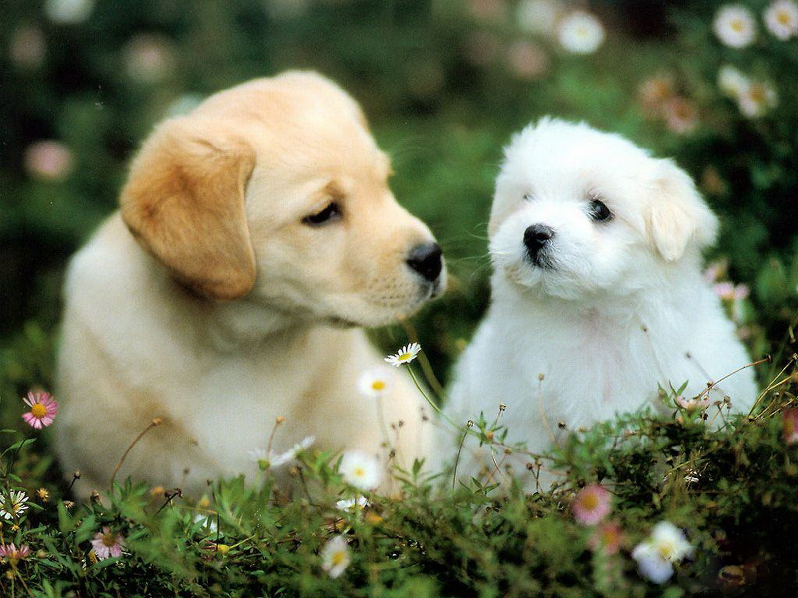 WallpaperfreekS HD Cute Dogs Wallpapers 1600X1200 1600x1200