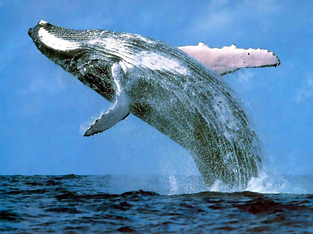 Blue Whale Wallpapers   Animals Town 1024x768