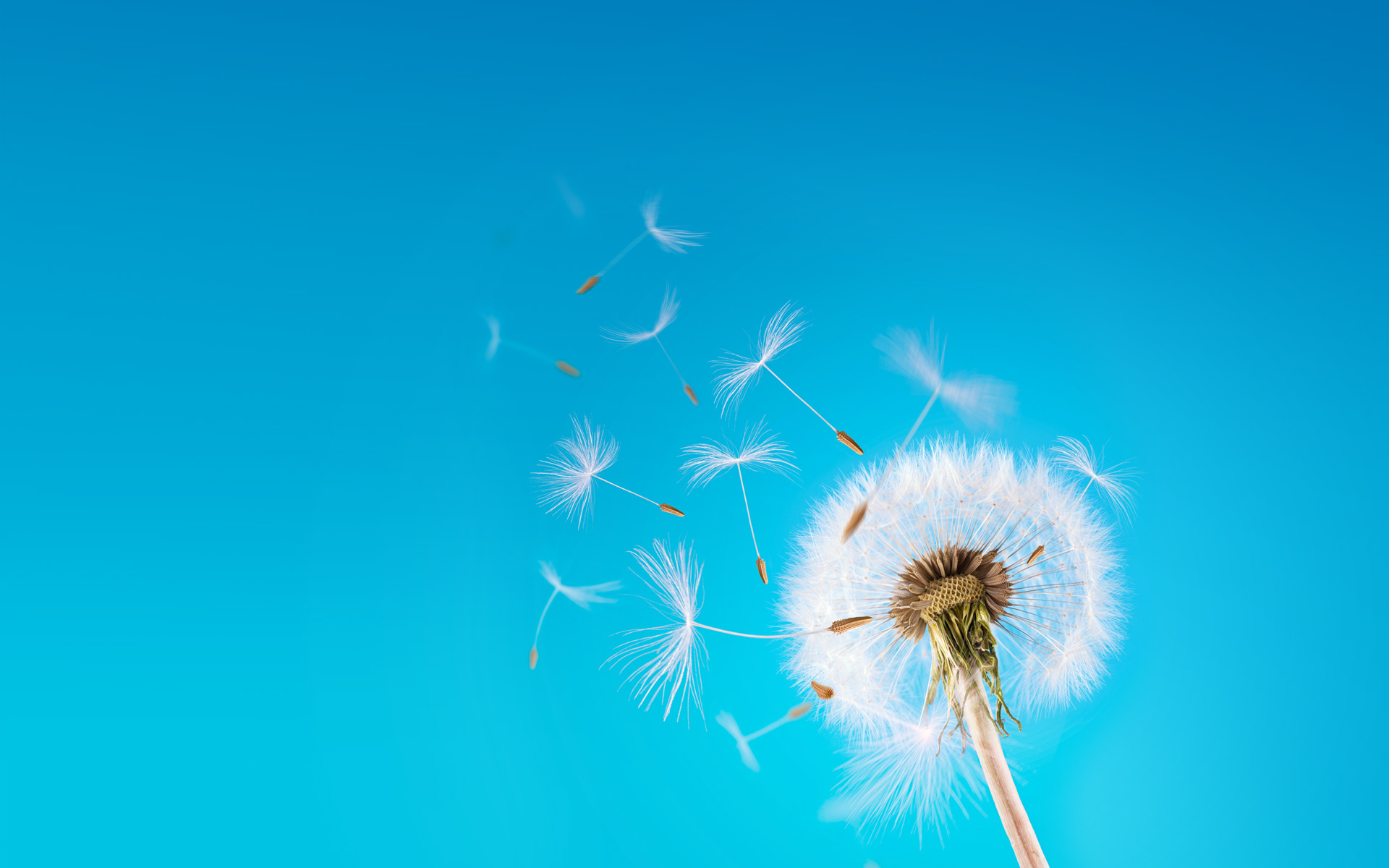 Dandelion wallpaper - 973379