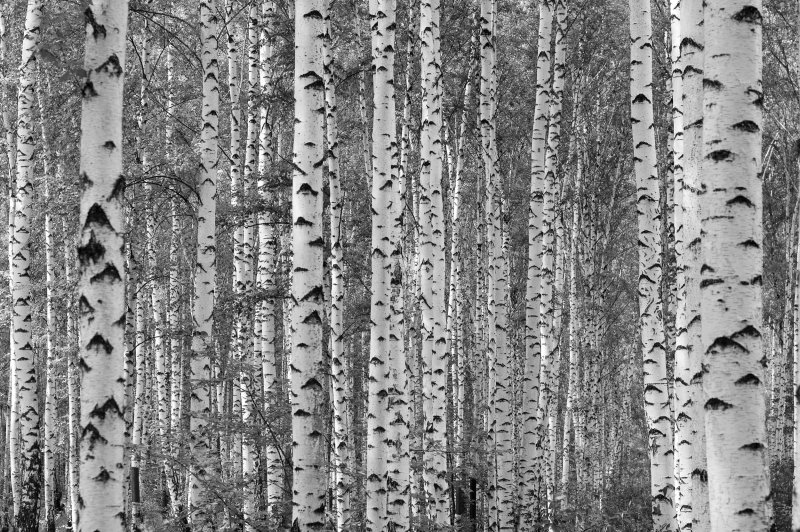 Canadian Cottager Show and Tell Birch Tree Mural 800x532