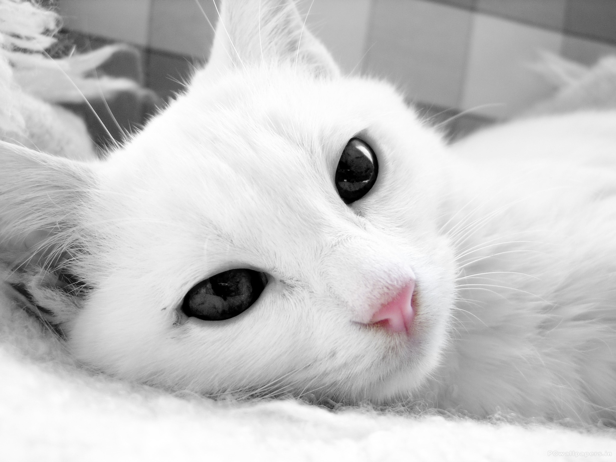 White Cat With Dark Eyes Close Up Wallpapers And Images 2048x1536