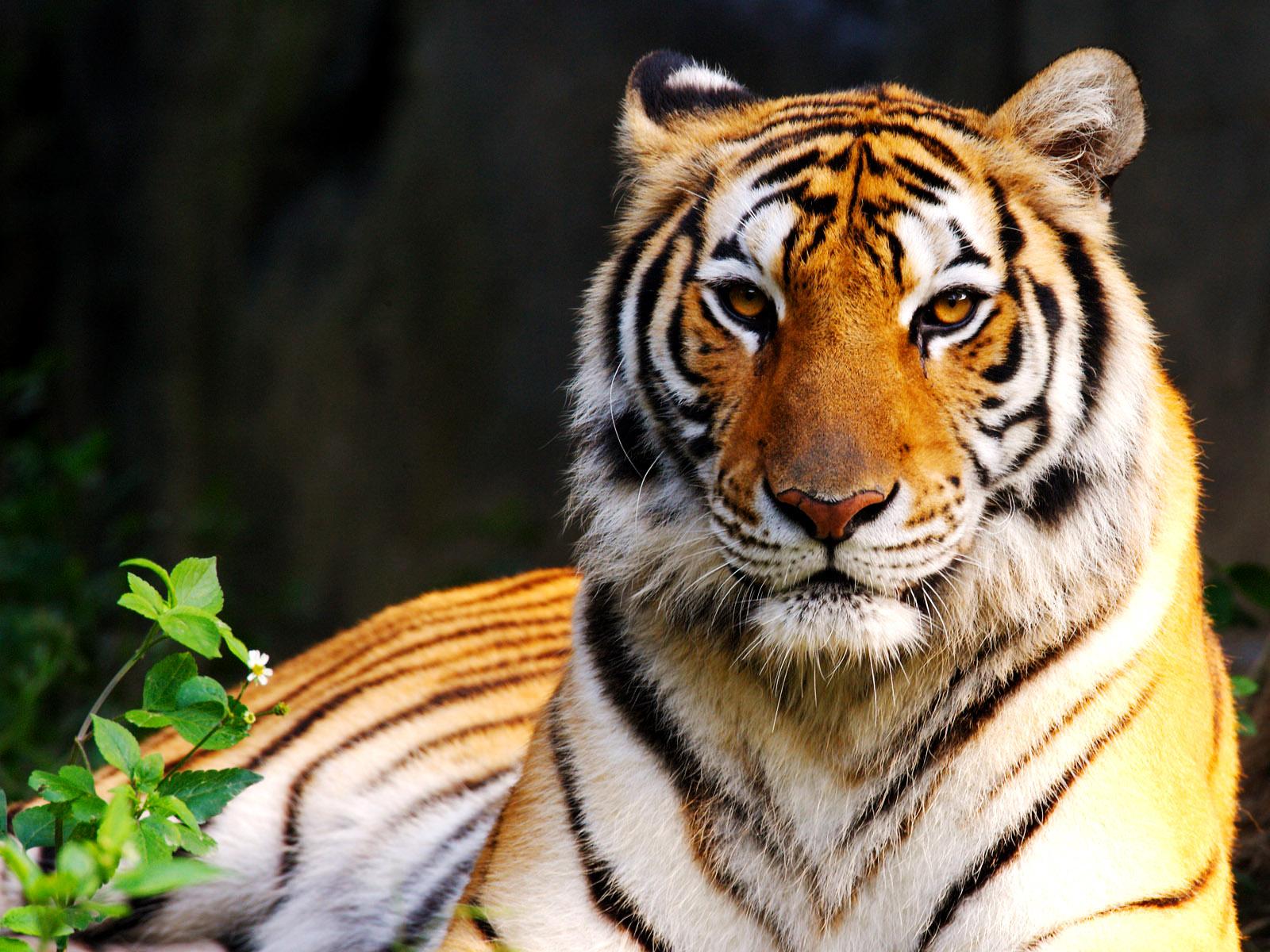 Colors of Nature Tiger HD Wallpapers Desktop Wallpapers 1600x1200