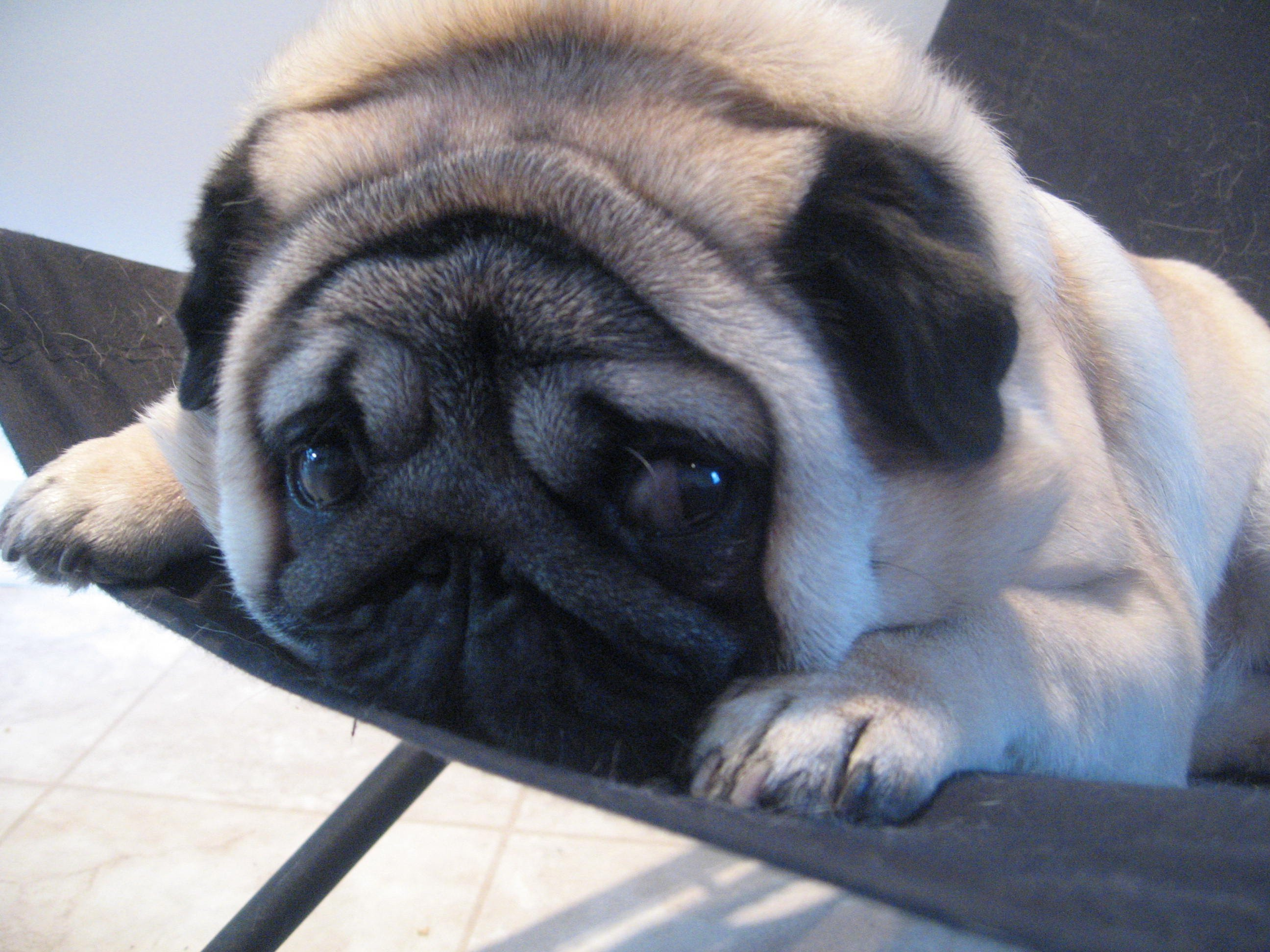 Funny Pug dog photo and wallpaper Beautiful Funny Pug dog pictures 2592x1944