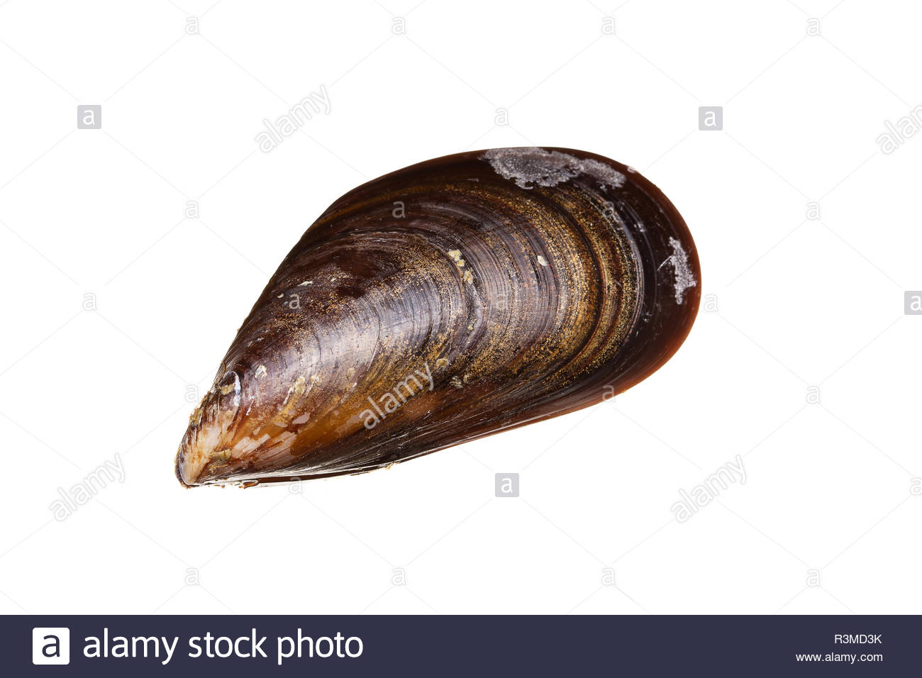 Fresh mussels isolated on white background Mussels from Atlantic 1300x956