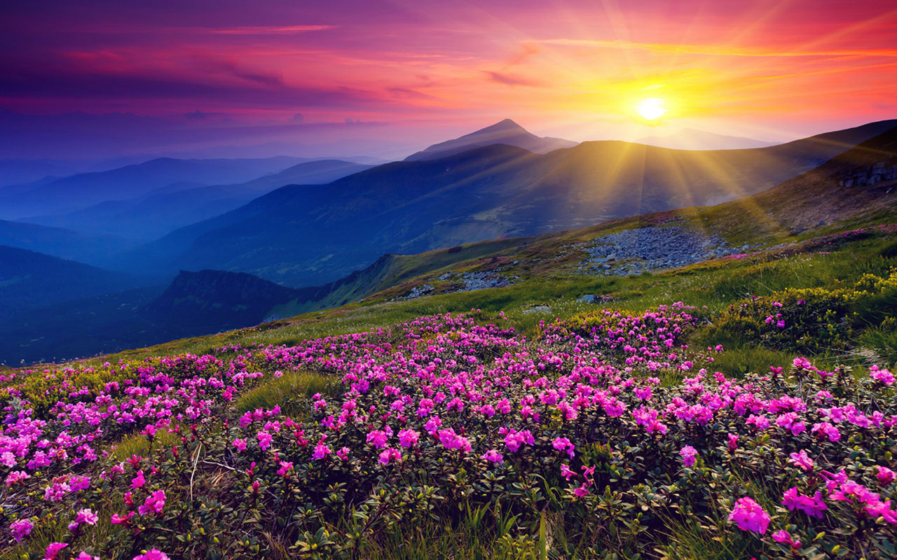 Free Download Purple Flowers Sunset Photography Wallpaper