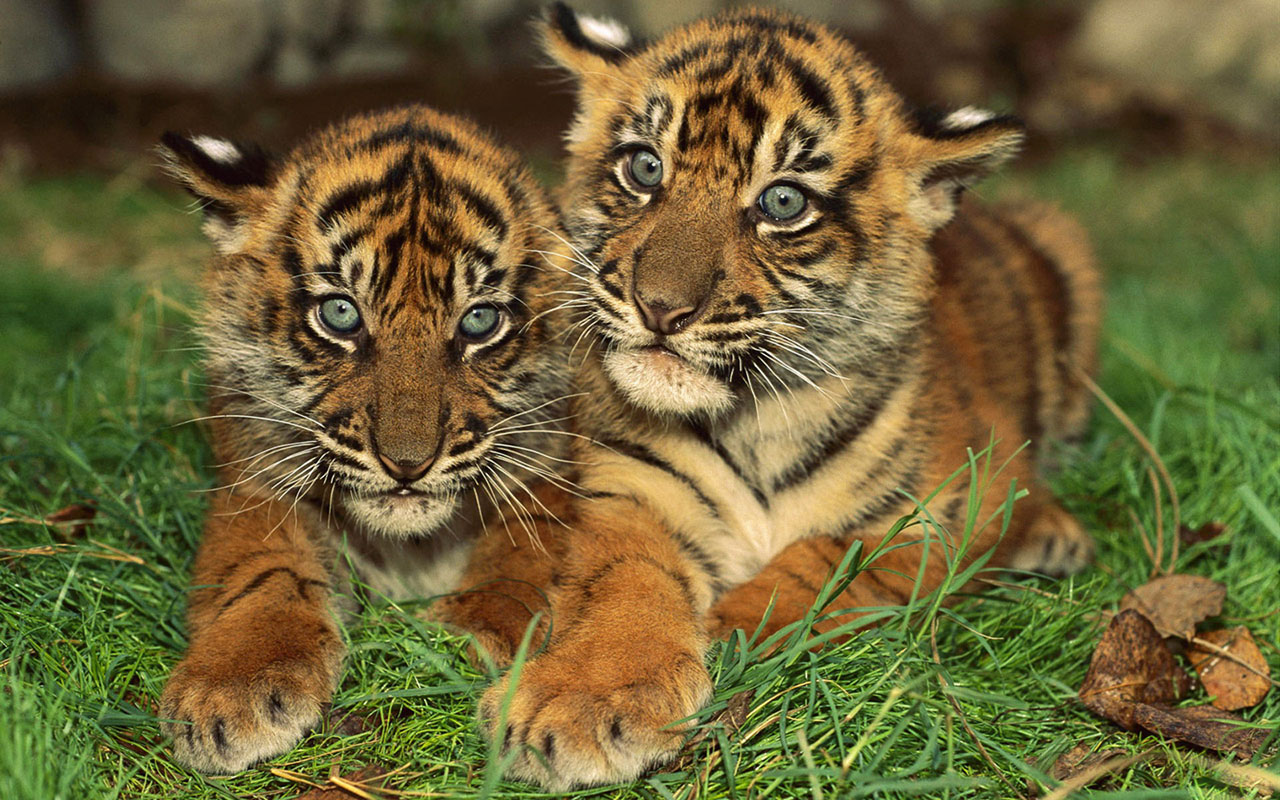 tiger cubs Animal Wallpapers   download wallpaperswindows xp 1280x800