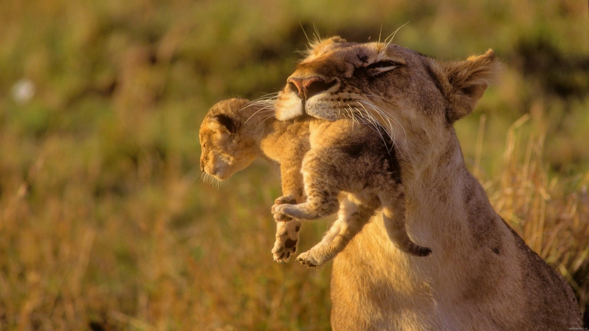Wallpaper Cheetah Pair Hd Animals 6057: HD Animal Wallpapers 1080p