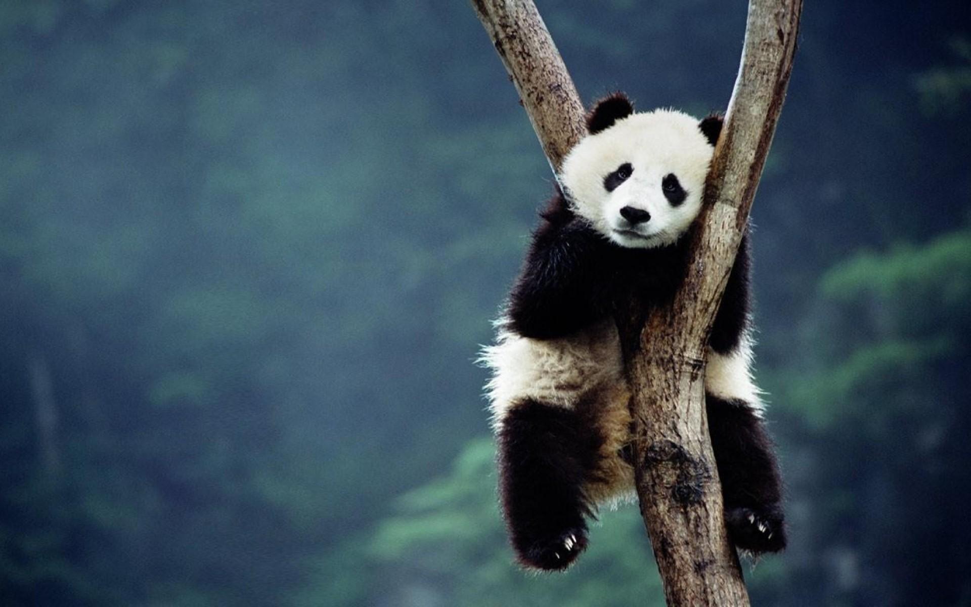 Baby Panda Wallpaper 1920x1200