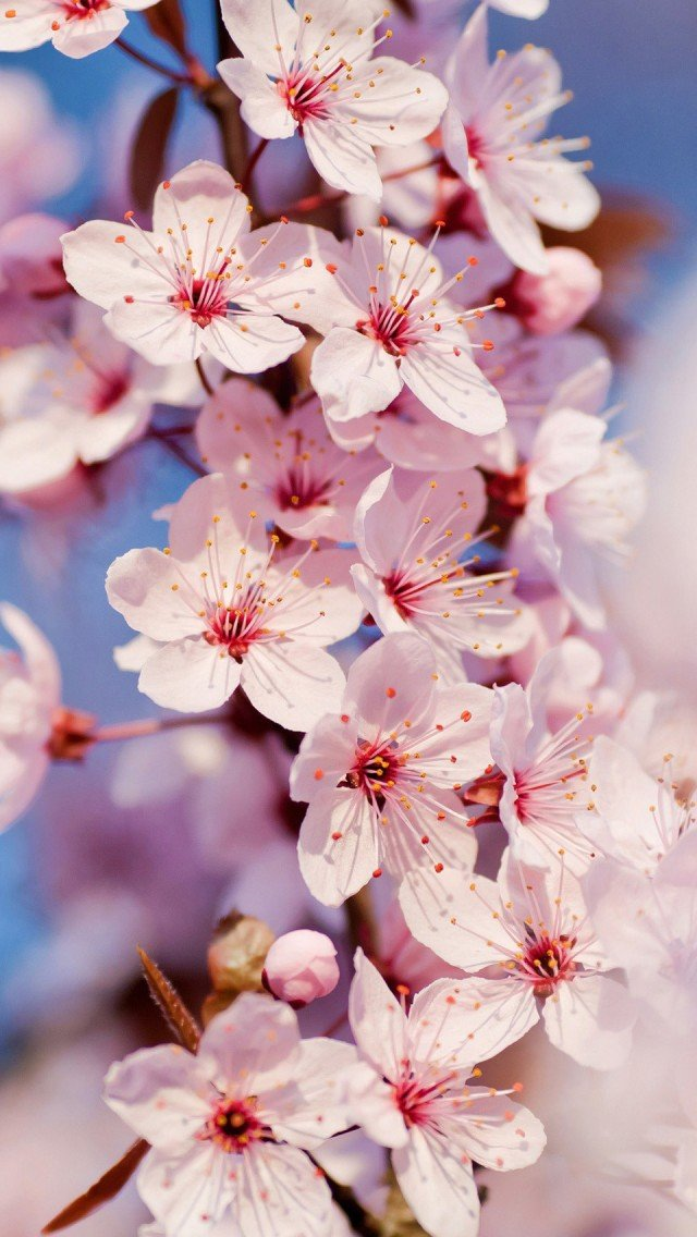 Cherry Blossom Wallpaper for iPhone 5 640x1136