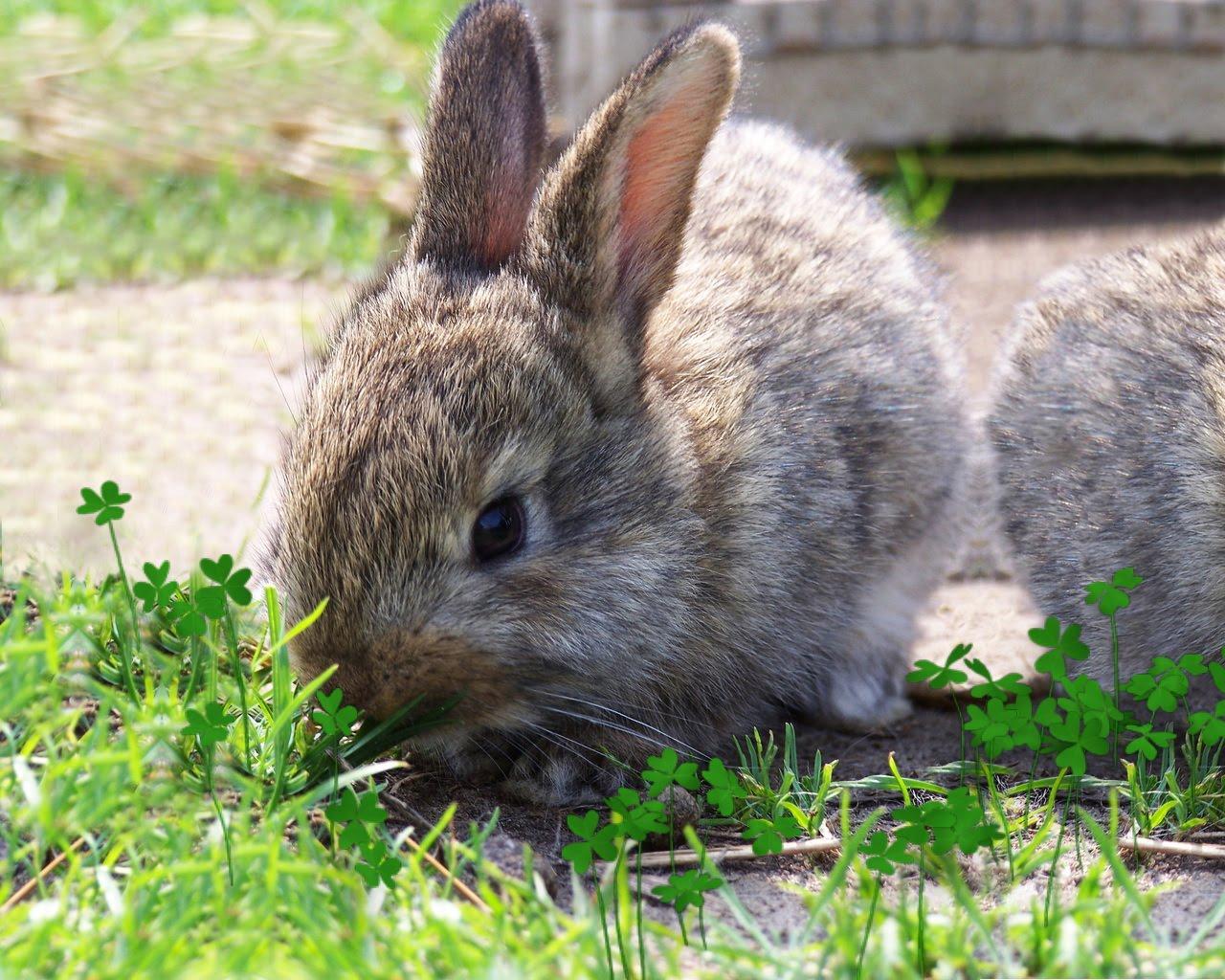 Искусственное кормление новорождённых крольчат. Кролики 19
