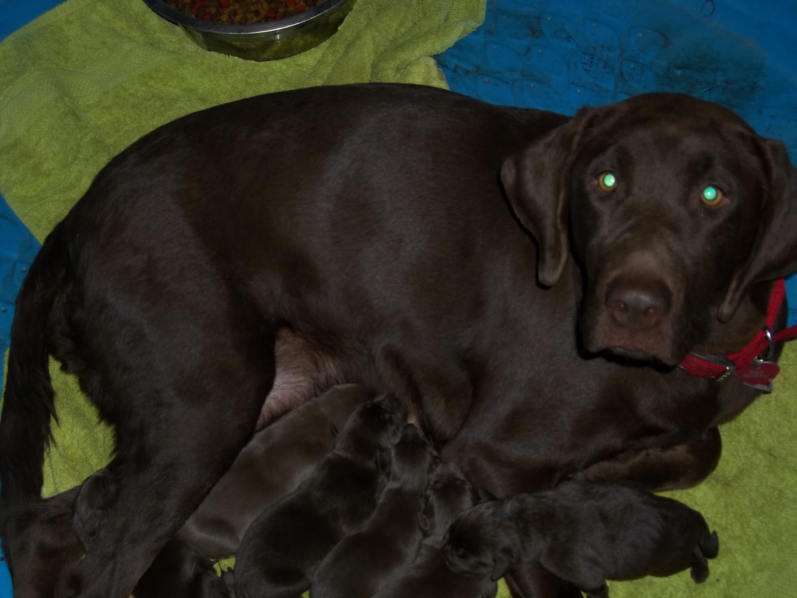 Chocolate Lab Pictures Wallpaper 1600x1200