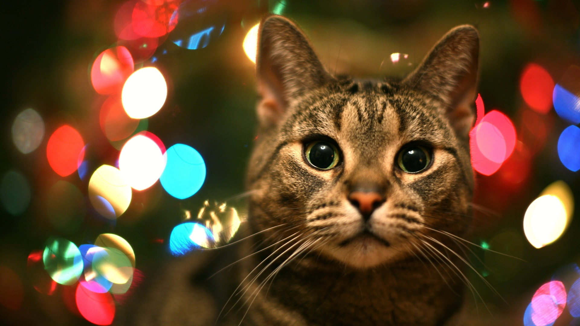cat in christmas lights in high resolution for get tabby cat 1920x1080