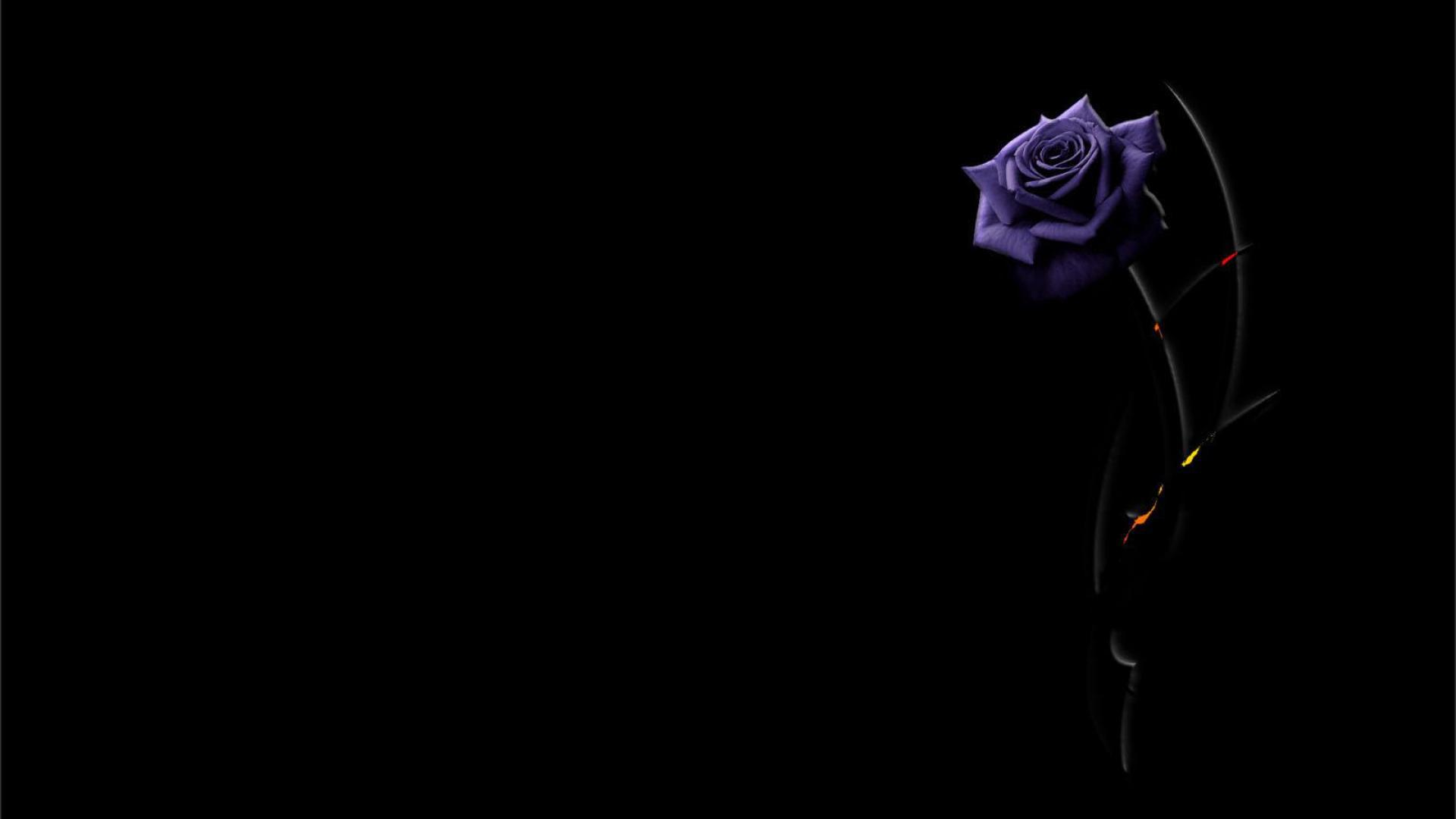 Beautiful purple rose on a black background wallpapers and images 1920x1080