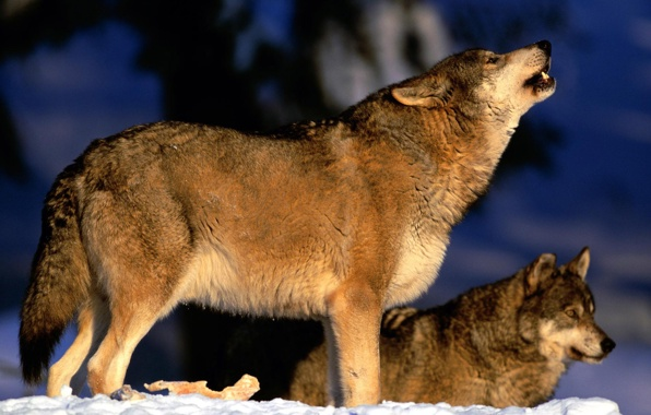 Wallpaper wolves a pack howling wallpapers animals   download 596x380