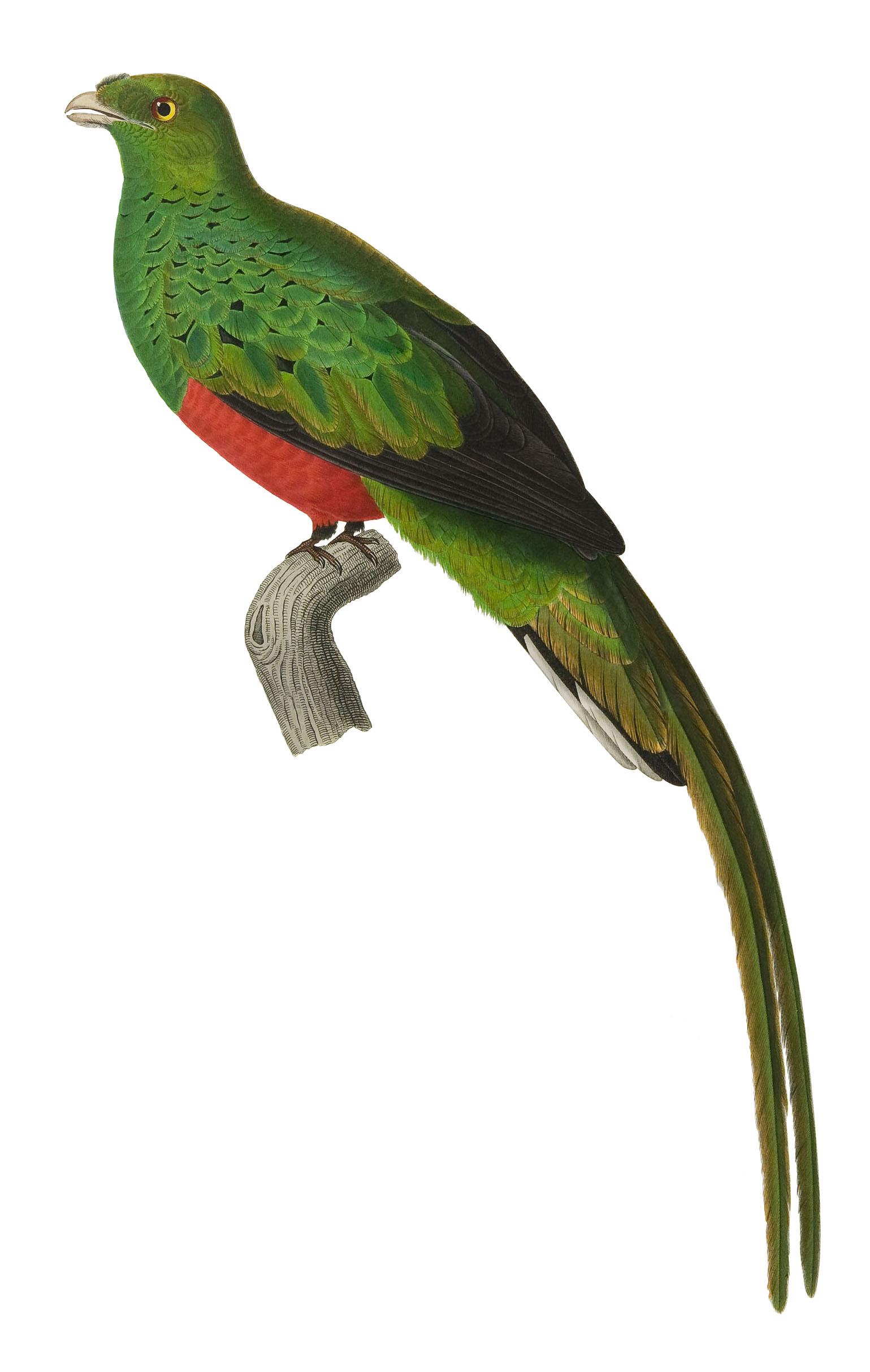 Pavonine quetzal   Wikipedia 1539x2427