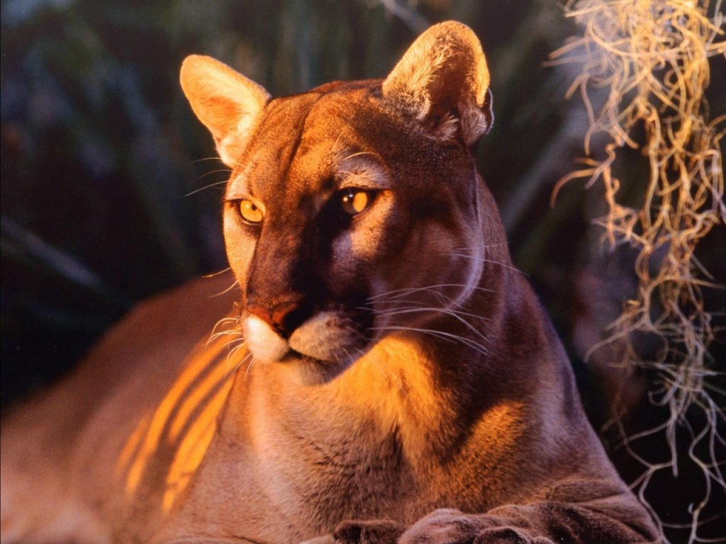 florida panther Page 4 1024x768