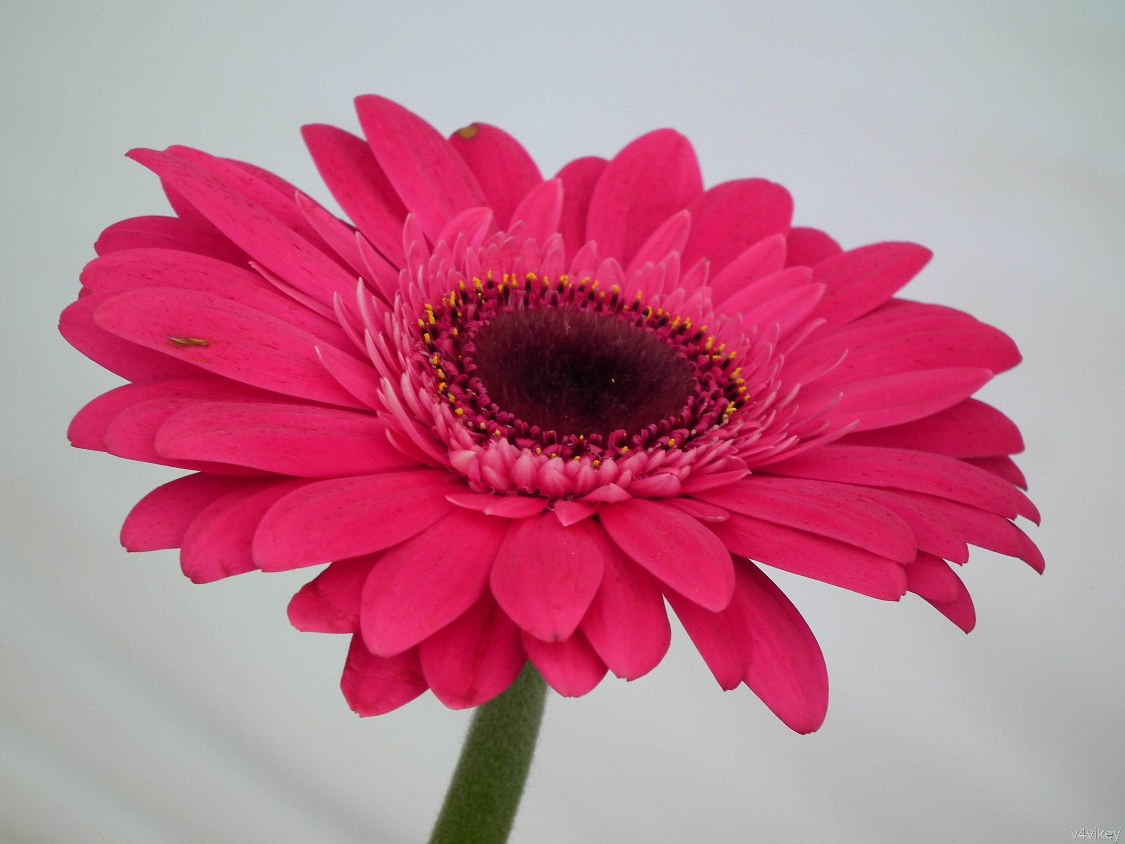 Pink Gerbera Daisy Wallpaper 3648x2736