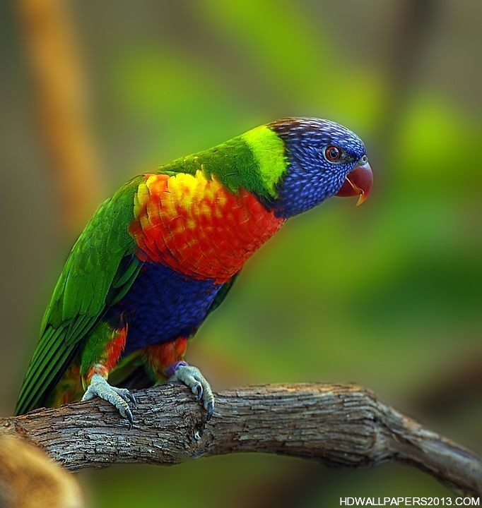Types of Parrots HD Wallpapers Types of Parrots HD Background 682x720