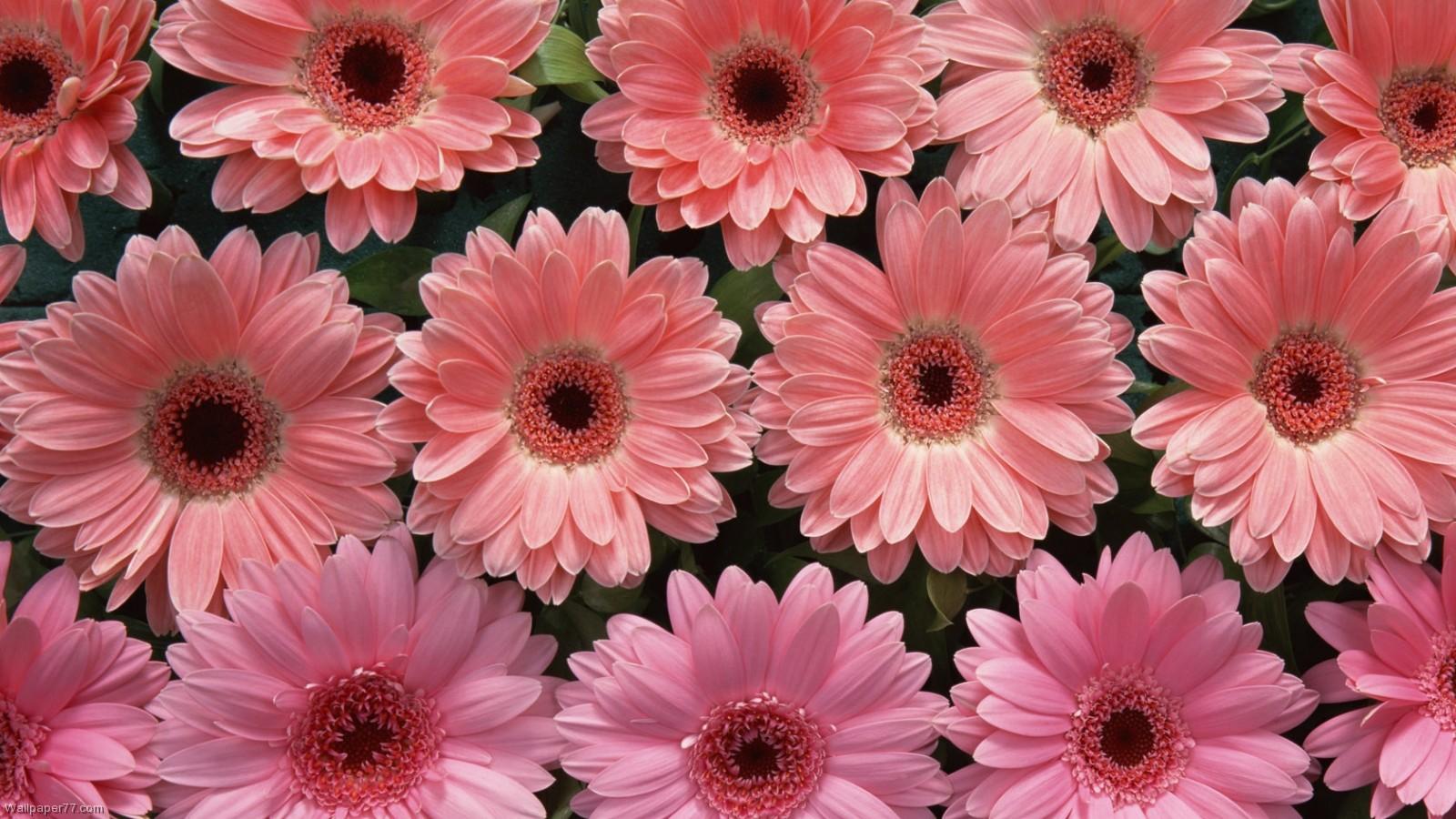 1600x900px Flower Pink Wallpaper Wallpapersafari