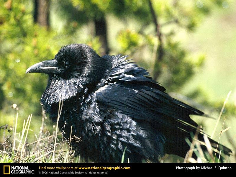 Raven Picture Raven Desktop Wallpaper Wallpapers Download 800x600