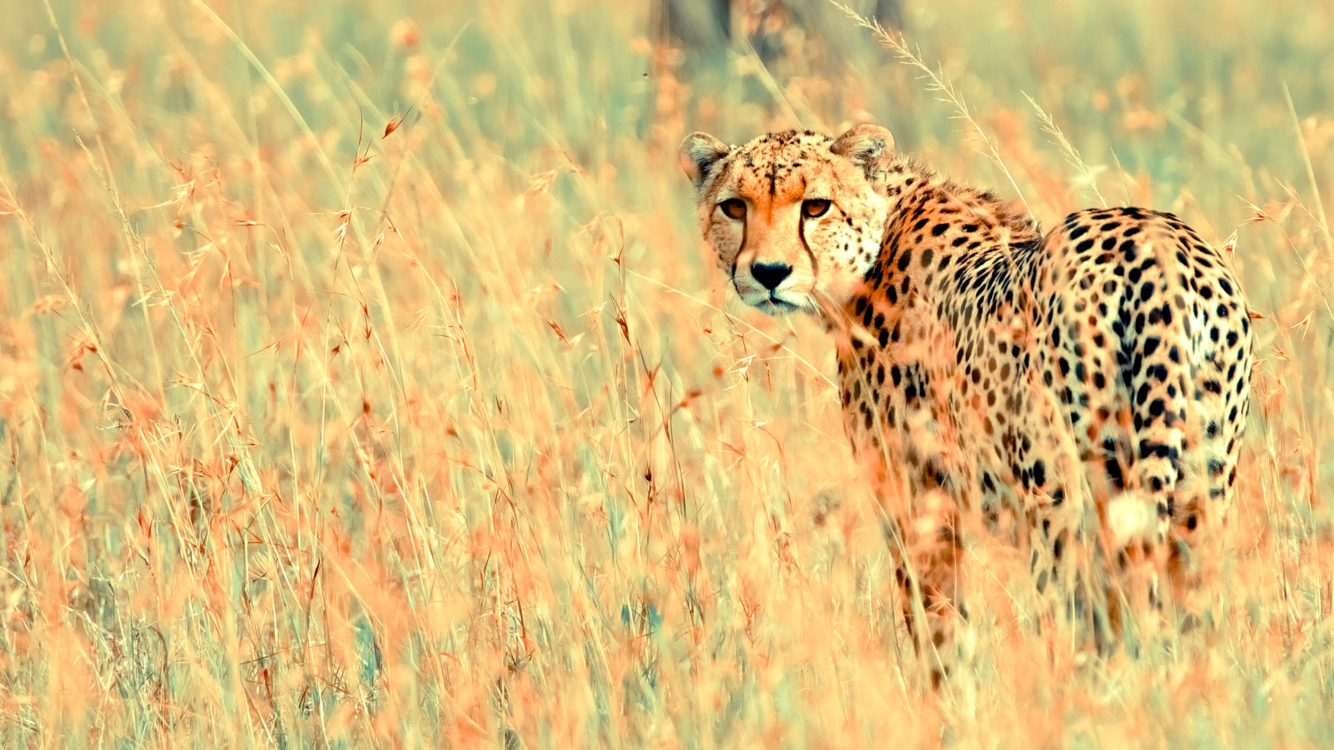 beautiful cheetah animal wallpaper Desktop Backgrounds for HD 1920x1080