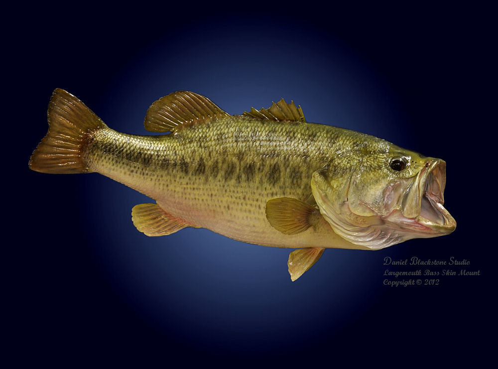 Largemouth Bass Wallpapers 1000x740